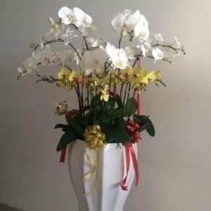 Chậu hồ điệp đa sắc - sắc hoa yêu thương