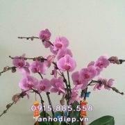 chau-ho-diep-hong-7-canh (2)