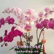 chau-hoa-ho-diep-trang-tim-7-canh (2)