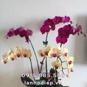 chau-hoa-lan-ho-diep-5-canh (2)