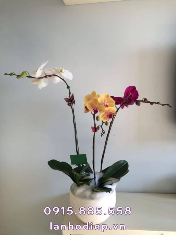 chau-hoa-lan-ho-diep-sac-mau-1-600x800 Chậu hoa lan hồ điệp sắc màu
