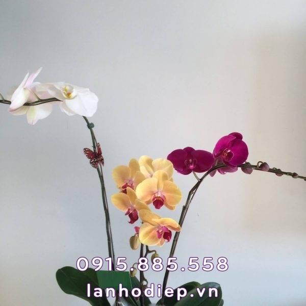 Chậu hoa lan hồ điệp sắc màu