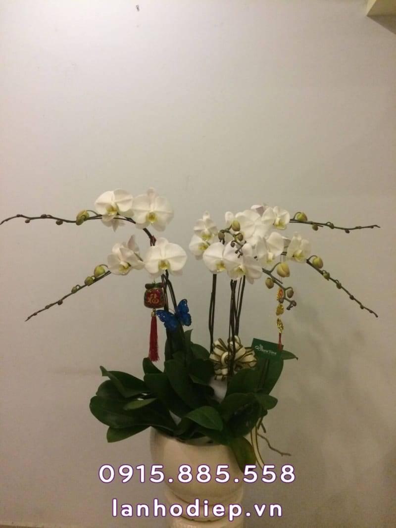 Chậu hoa lan hồ điệp trắng