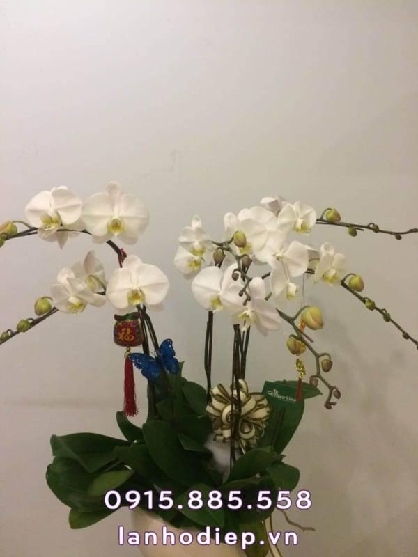 chau-hoa-lan-ho-diep-trang-2-600x800 Chậu hoa lan hồ điệp trắng