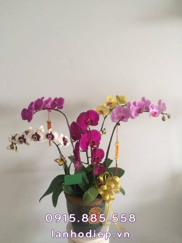 hoa lan hồ điệp trưng Tết