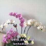 chau-lan-ho-diep-6-canh (2)