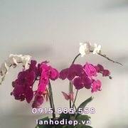 chau-lan-ho-diep-buom-xuan (2)