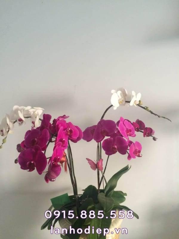 chau-lan-ho-diep-buom-xuan-1-600x800 Chậu lan hồ điệp bướm xuân
