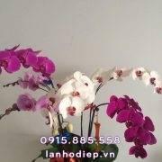 chau-lan-ho-diep-chuc-tet (2)