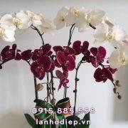 chau-lan-ho-diep-da-sac-5-canh (2)