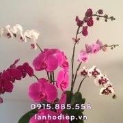 chau-lan-ho-diep-phat-tai-nhu-y (2)