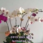 chau-lan-ho-diep-phong-cach-nhat-ban (2)