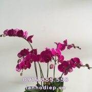 chau-lan-ho-diep-tim-6-canh (2)