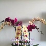 chau-lan-ho-diep-tim-vang-6-canh (2)