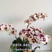 chau-lan-ho-diep-trang-dom-tim (2)