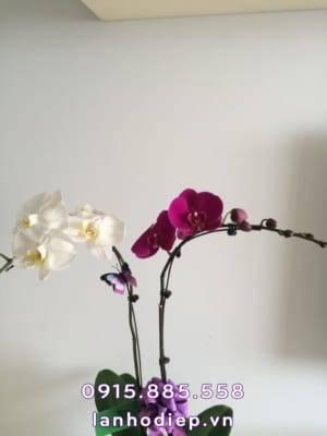 Hoa lan hồ điệp 2 cành trắng tím