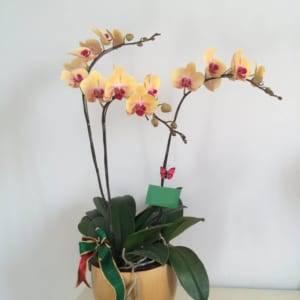 Hoa lan hồ điệp chúc mừng
