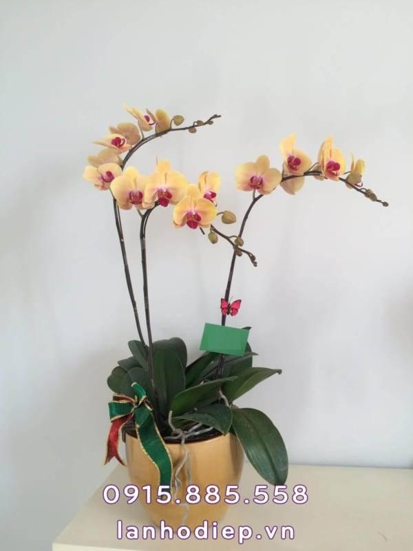 hoa-lan-ho-diep-chuc-mung-1-600x800 Hoa lan hồ điệp chúc mừng