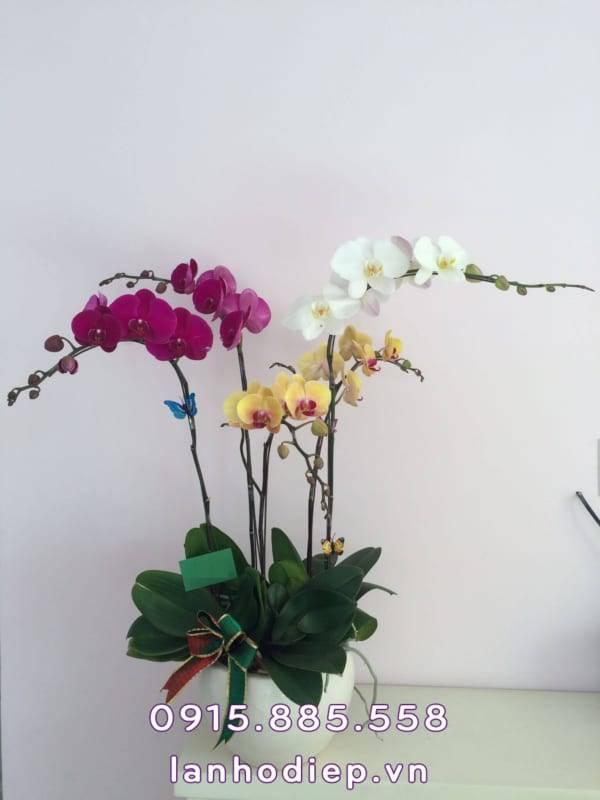 Hoa lan hồ điệp đa sắc 5 cành