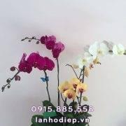 hoa-lan-ho-diep-da-sac-5-canh (2)