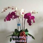 Hoa lan hồ điệp - quà tặng 20-10