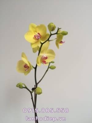 Hoa lan hồ điệp vàng 1 cành