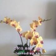 hoa-lan-ho-diep-vang (2)