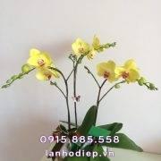 lan-ho-diep-nang-vang-3-canh (2)