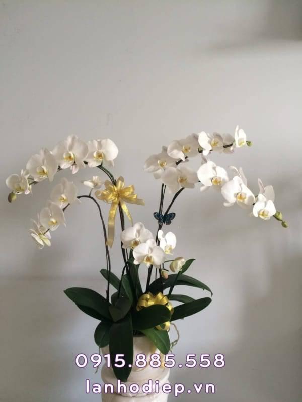 lan-ho-diep-trang-hoa-mung-sinh-nhat-2-600x800 Lan hồ điệp trắng - hoa mừng sinh nhật