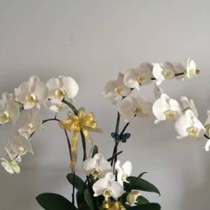 Lan hồ điệp trắng - hoa mừng sinh nhật