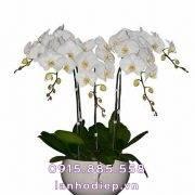 Chậu hoa lan hồ điệp trắng 5 cành