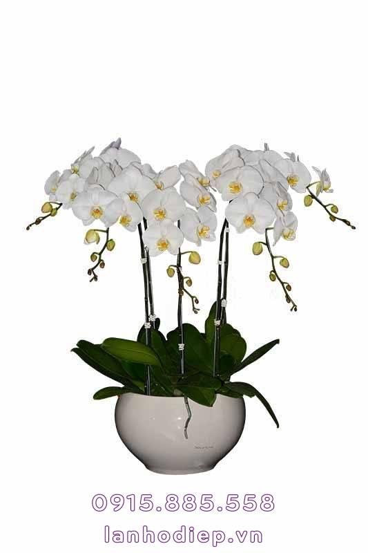 chau-hoa-lan-ho-diep-trang-5-canh-533x800 Chậu hoa lan hồ điệp trắng 5 cành
