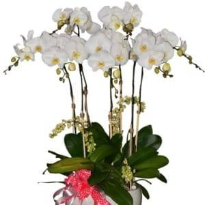 Chậu hoa lan hồ điệp trắng may mắn