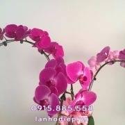 chau-lan-ho-diep-tim-3-canh (2)