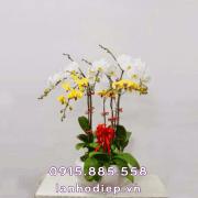 Chậu hoa lan hồ điệp đa sắc mini