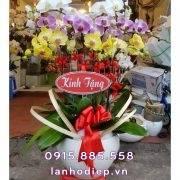 Chậu hoa lan hồ điệp đa sắc quà tặng Tết