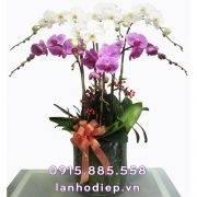 Chậu hoa lan hồ điệp đa sắc trưng Tết