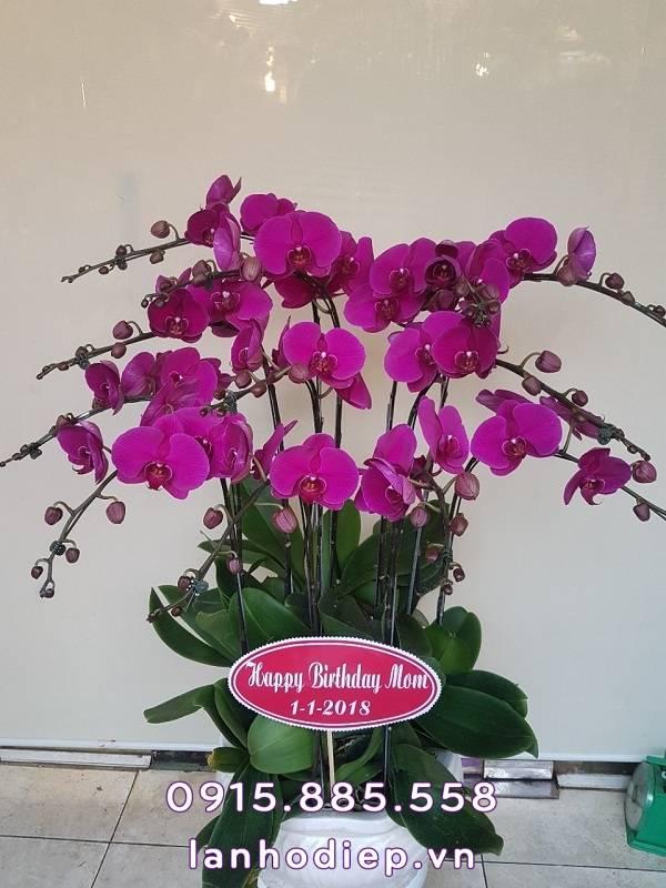 Chậu hoa lan hồ điệp tím sang trọng