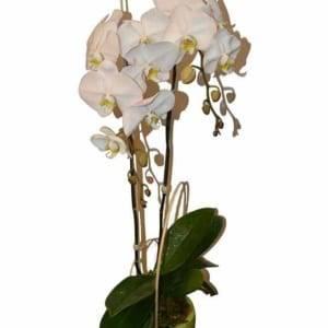 Chậu hoa lan hồ điệp trắng 2 cành