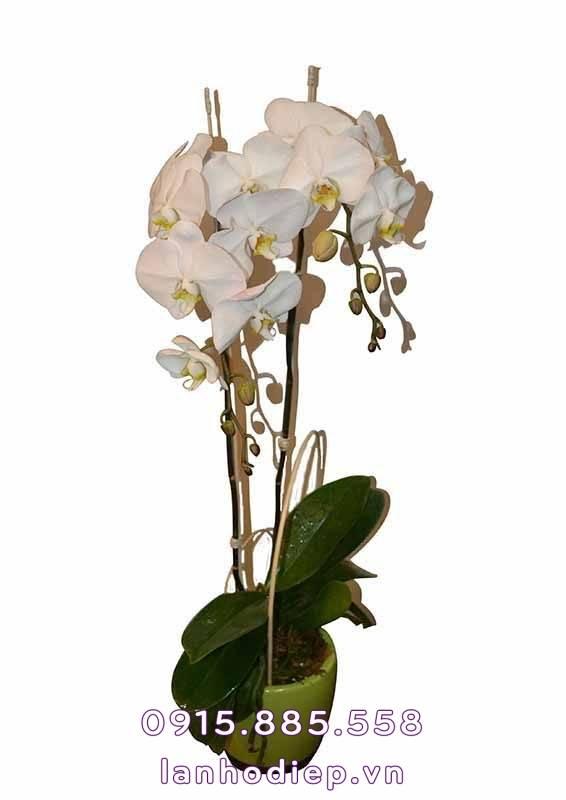 chau-hoa-lan-ho-diep-trang-2-canh-566x800 Chậu hoa lan hồ điệp trắng 2 cành