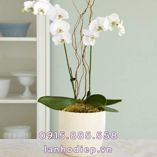 Chậu hoa lan hồ điệp trắng 2 cành để bàn