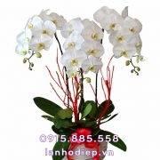 Chậu hoa lan hồ điệp trắng để bàn