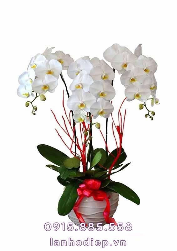 chau-hoa-lan-ho-diep-trang-de-ban-566x800 Chậu hoa lan hồ điệp trắng để bàn