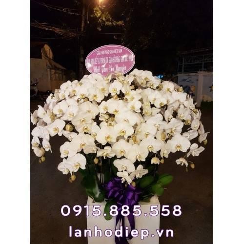 Chậu hoa lan hồ điệp trắng nhị vàng 29 cành xuân