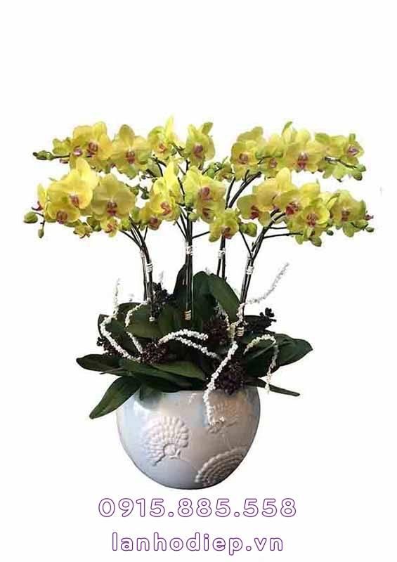 Chậu hoa lan hồ điệp vàng
