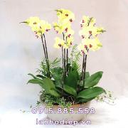 Chậu hoa lan hồ điệp vàng mini