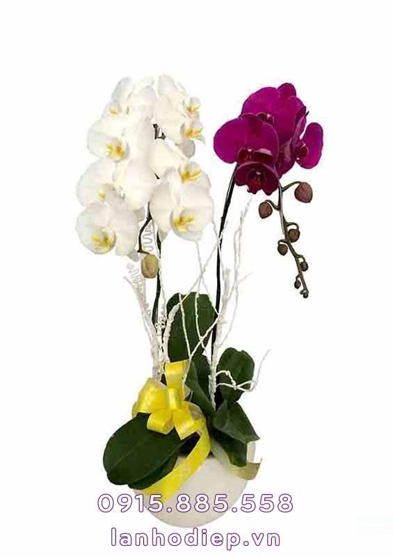 Hoa lan hồ điệp ngày lễ tình nhân