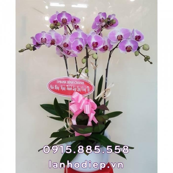 Hoa lan hồ điệp trắng tím Tết
