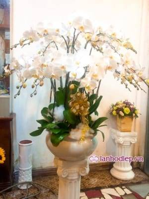 Hoa Lan Ho Diep Qua Tang Sep