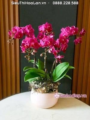 Hoa Lan Ho Diep Tang Nguoi Yeu